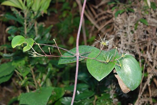 crassifolia 厚叶铁线莲