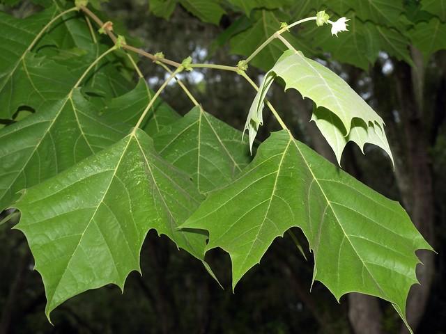 Platanus occidentalis leaves klrPlatanus Occidentalis Leaf