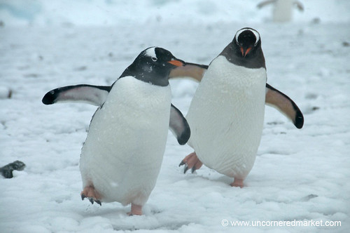 Dancing penguin - photo#4