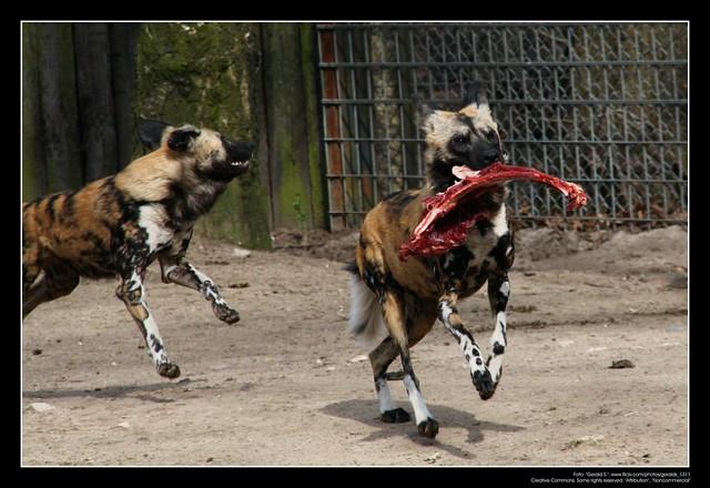 African Wild Dogs / Afrikanische Wildhunde (08)