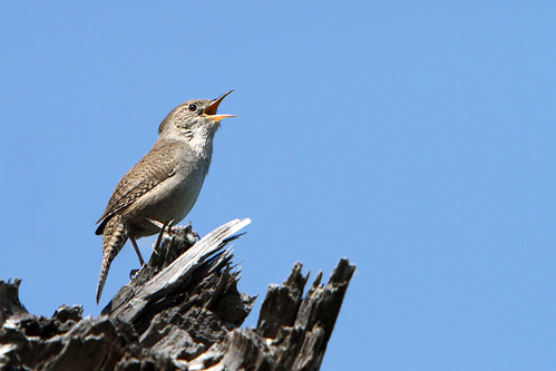 House wren in full song