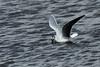 Hydrocoloeus (Larus) minutus - Gaivota pequena/Little Gull by António A Gonçalves