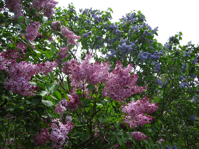 Syringa vulgaris 'Romance' and 'President Lincoln' make a stunning color combination matched only by their incredible scents! Photo by Rebecca Bullene.