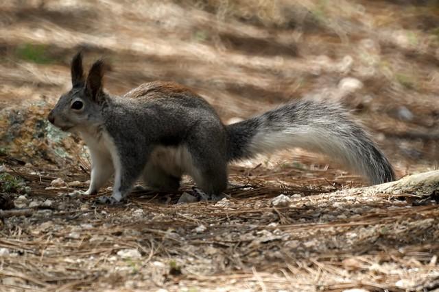 Abert's Squirrel aka Tassel-eared Squirrel | Tucson ...