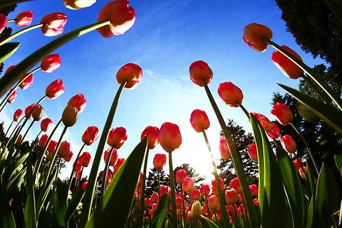 sky canon tulips bluesky fisheye 15mm twop colorphotoaward flickrestrellas canon5dmarkii bestofmywinners
