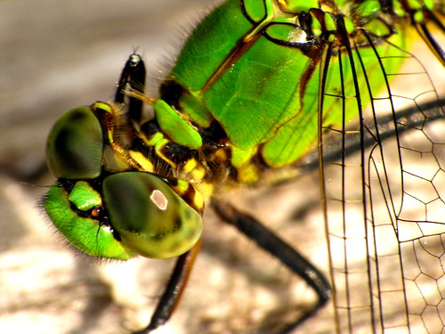 Green Dragonfly (Odonata)