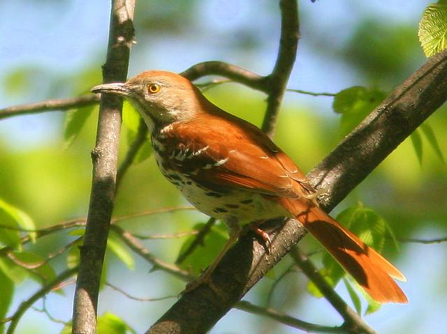 Brown Thrasher 3-20100428