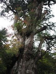 Jōmon-sugi