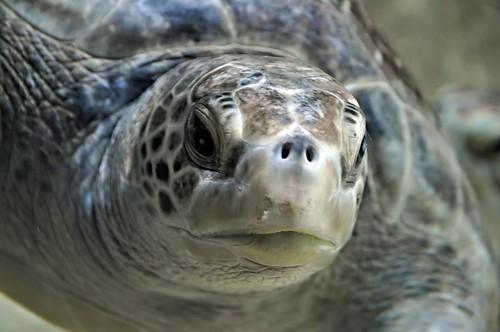 aquarium monterey turtle montereybayaquarium seaturtle johnk d5000 johnkrzesinski randomok