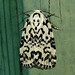Hebrew Moth - Photo (c) kestrel360, some rights reserved (CC BY-NC-ND)
