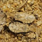 alföldi karimáspoloska - Arenocoris fallenii