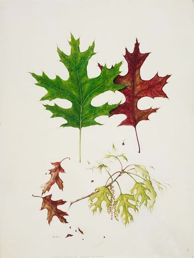 "Kate Nessler, Quercus coccinea, 2004.  Watercolor, body color and pencil on vellum, 14"" × 11"".  © Copyright Brooklyn Botanic Garden"