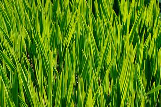 kokología verde hierba