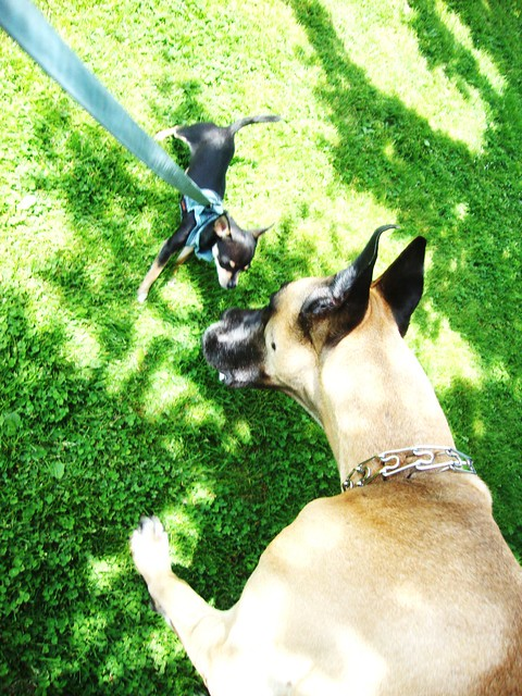 Great Dane vs. Chihuahua | Flickr - Photo Sharing!