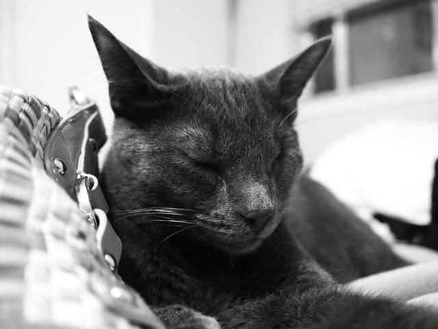 Little Grey Kitty Dozes