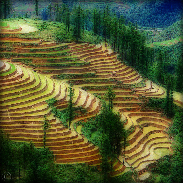 Rice paddies Dream land…