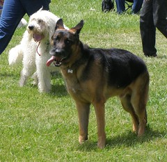 german shepherd dog(0.0), east siberian laika(0.0), wolfdog(0.0), shiloh shepherd dog(0.0), dog breed(1.0), animal(1.0), dog(1.0), pet(1.0), bohemian shepherd(1.0), east-european shepherd(1.0), carnivoran(1.0),