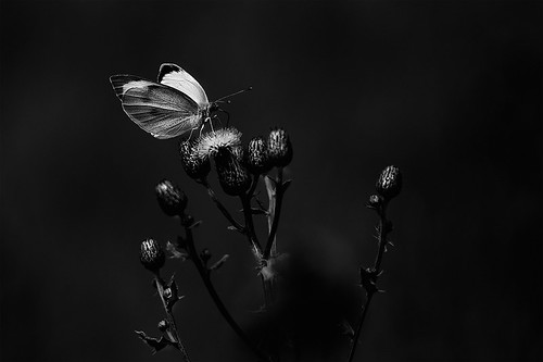 Butterfly in black and white