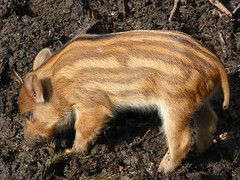 animal, wild boar, domestic pig, pig, fauna, pig-like mammal, wildlife,