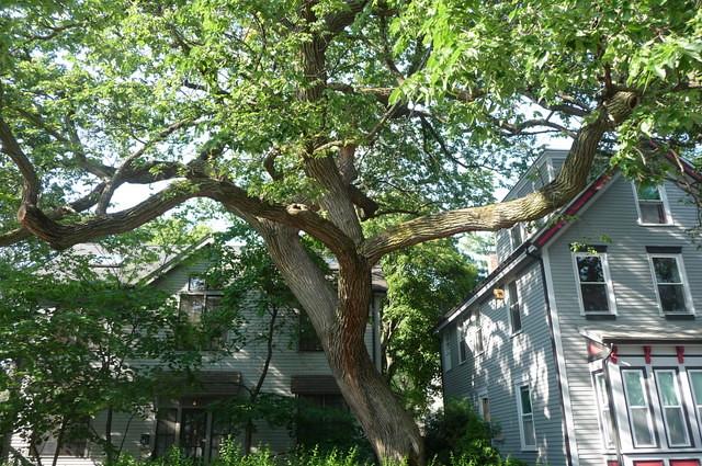Wellington-Harrington - Majestic tree on Lincoln Street, Cambridge, MA