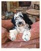 Scarlett ~ Tibetan Terrier