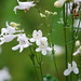 foxglove beardtongue - Photo (c) Rachel James, some rights reserved (CC BY-NC-SA)