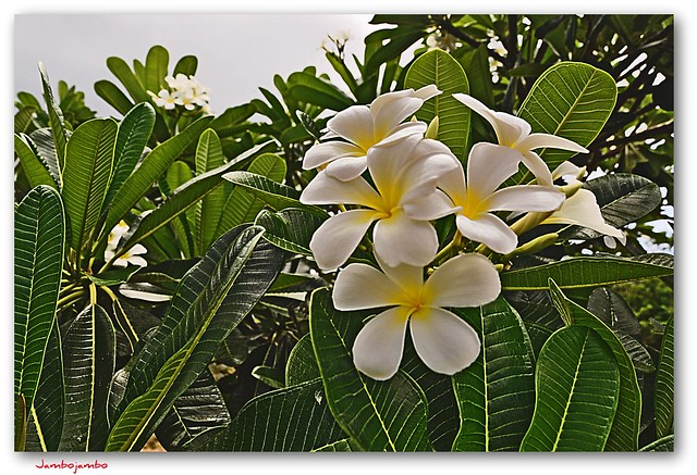 Bali - Fiori di frangipane - frangipani flowers