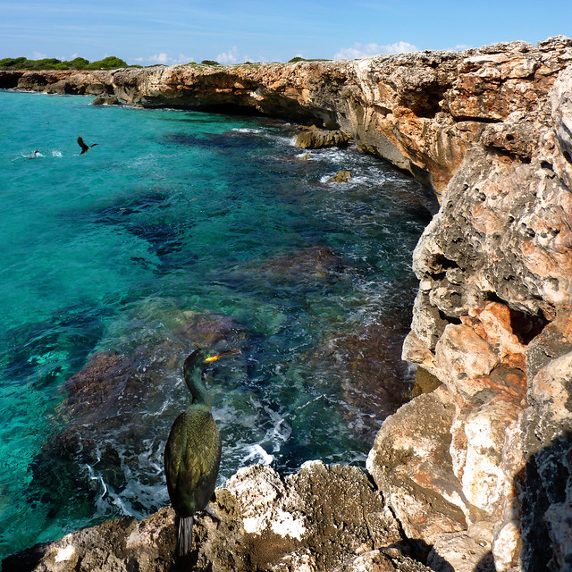 Green Cormorants nesting on the rocky coast of Menorca
