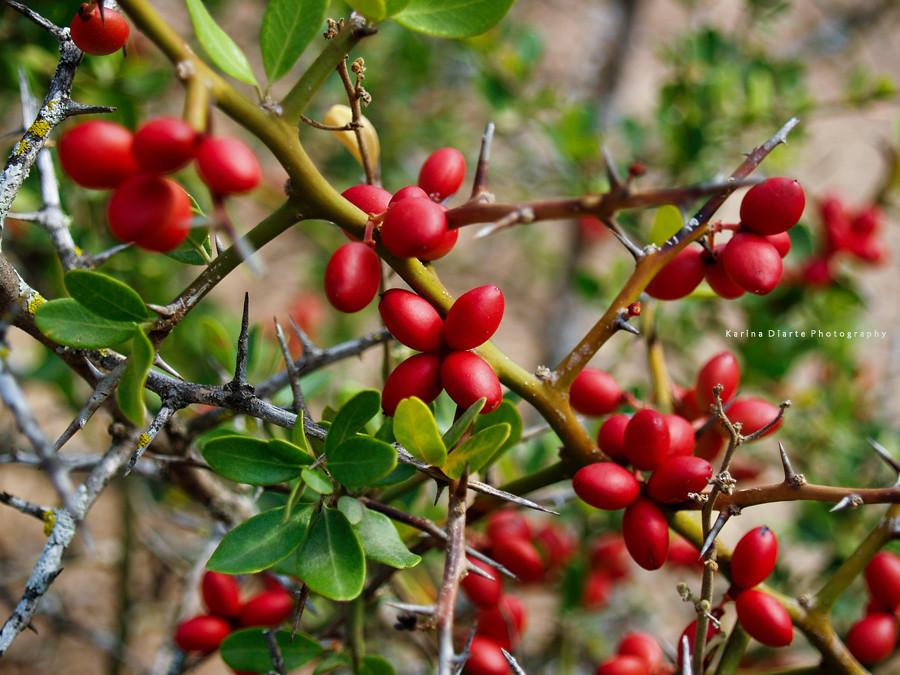 Arbusto espinoso arom tico de peque os frutos rojos for Arbol de frutos rojos pequenos