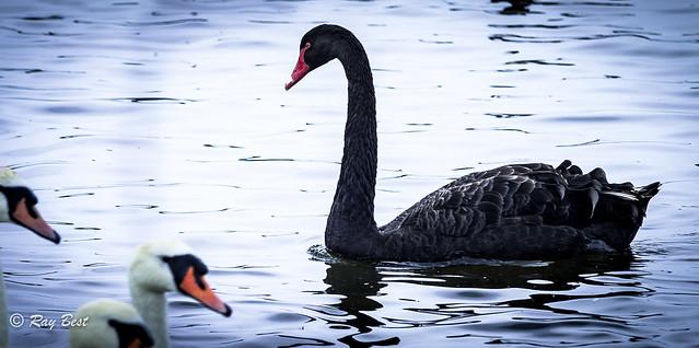 An Australian Black Swan, Nikon D700, AF VR Zoom-Nikkor 80-400mm f/4.5-5.6D ED