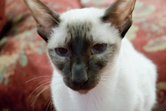 peterbald(0.0), oriental shorthair(0.0), tonkinese(0.0), animal(1.0), siamese(1.0), small to medium-sized cats(1.0), pet(1.0), mammal(1.0), fauna(1.0), javanese(1.0), thai(1.0), close-up(1.0), cat(1.0), whiskers(1.0), balinese(1.0), domestic short-haired cat(1.0),