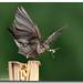 Spotted Flycatcher by ibrahem N. ALNassar