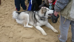 akita inu(0.0), caucasian shepherd dog(0.0), northern inuit dog(0.0), jã¤mthund(0.0), dog breed(1.0), animal(1.0), west siberian laika(1.0), akita(1.0), dog(1.0), siberian husky(1.0), pet(1.0), east siberian laika(1.0), norwegian elkhound(1.0), tamaskan dog(1.0), greenland dog(1.0), wolfdog(1.0), saarloos wolfdog(1.0), native american indian dog(1.0), alaskan malamute(1.0), carnivoran(1.0),