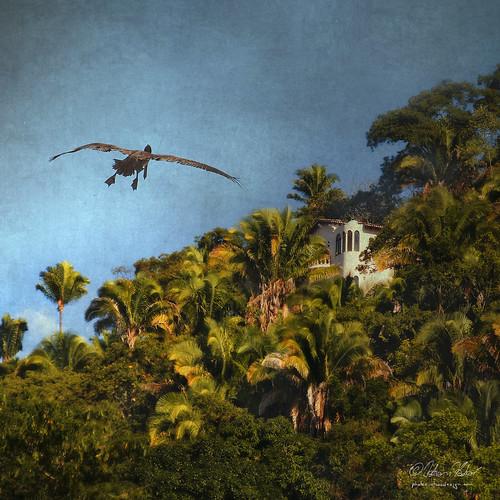 bird nature landscape mexico pelican resort palmtrees villa puertovallarta brownpelican pelecanusoccidentalis