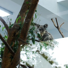 animal, branch, mammal, koala, fauna,