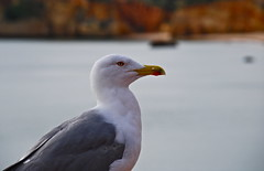 animal, charadriiformes, wing, fauna, close-up, great black-backed gull, european herring gull, beak, bird, seabird, wildlife,