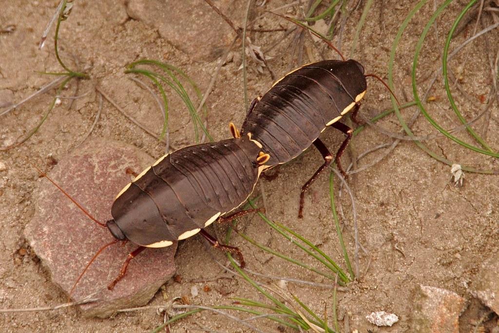 Bush Cockroaches, Polyzosteria limbata