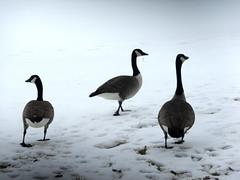 3 Ducks (3)