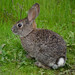 Brush Rabbit - Photo (c) randomtruth, some rights reserved (CC BY-NC-SA)