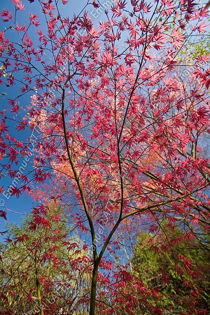erable palm rouge acer palmatum carminium au printemps france flickr photo sharing. Black Bedroom Furniture Sets. Home Design Ideas