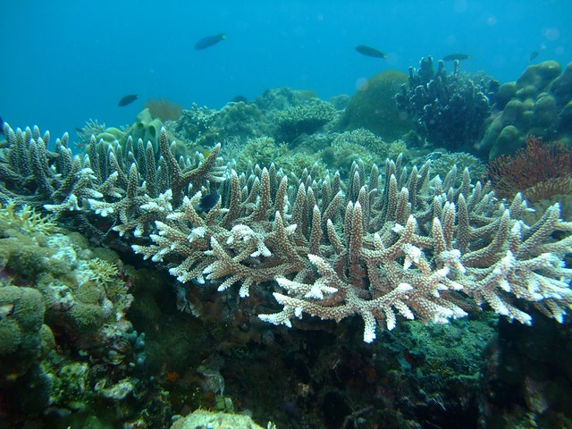 Staghorn Coral (with evidence of Coral bleaching :-( )