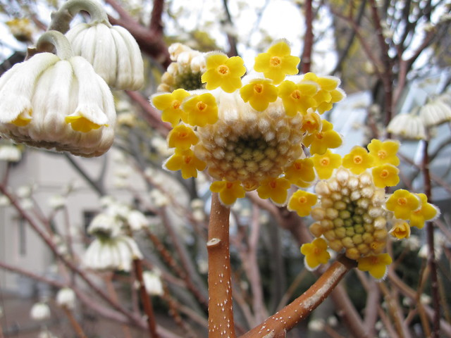 Edgeworthia chrysantha,  begins to bloom in mid-March. With its bright-yellow pendulous blossoms and crisp scent, this is not to be missed. Photo by Rebecca Bullene.