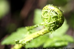 fiddlehead   a fern unfurls