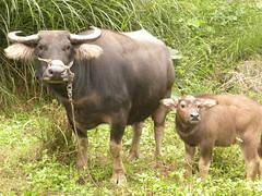 擎天崗草原的主角水牛,2004年因為撞傷台北市民而被迫退位。維護擎天崗草原景觀,要不要讓水牛回來,傷透陽管處腦筋。圖為貢寮的水牛。