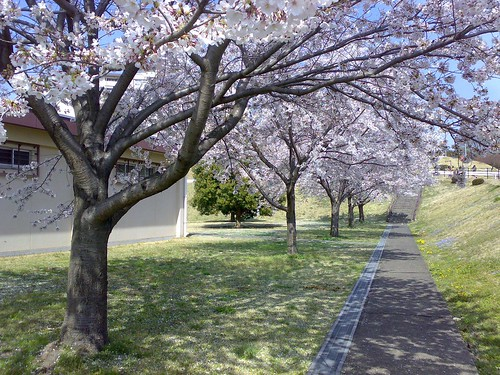 Cherry trees in Zama American High School