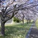 Small photo of Cherry trees in Zama American High School