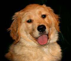 dog breed, nose, animal, dog, pet, nova scotia duck tolling retriever, golden retriever, carnivoran,