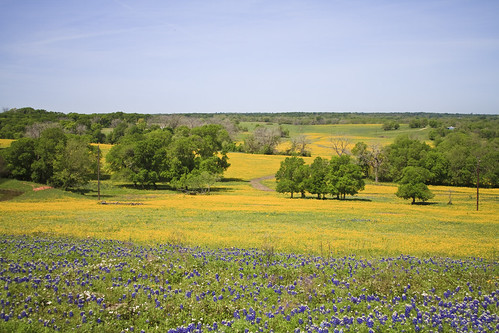 yellow texas wildflowers chapelhill bluebonnets
