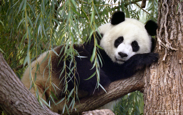 Giant Panda (Mei Xiang) Resting Up a Tree at the National Zoo