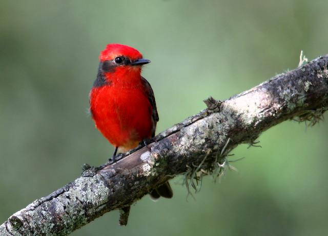 Imagen de una de las aves del Quindio: Atrapamoscas Pechirojo (Pyrocephalus rubinus)